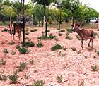 TORKU Ormanları'nın Kızıl Geyikleri yavru verdi