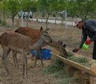 Konya Şeker ormanlarında büyüyen ağaçlar sincaplar ve arılardan sonra kızıl geyiklerin de yuvası