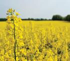 Alternatif ürün olarak ekilen yağlık kanola bitkisinden tam verim alındı